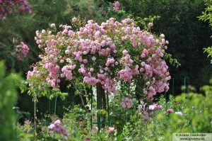 Rosal en Giverny