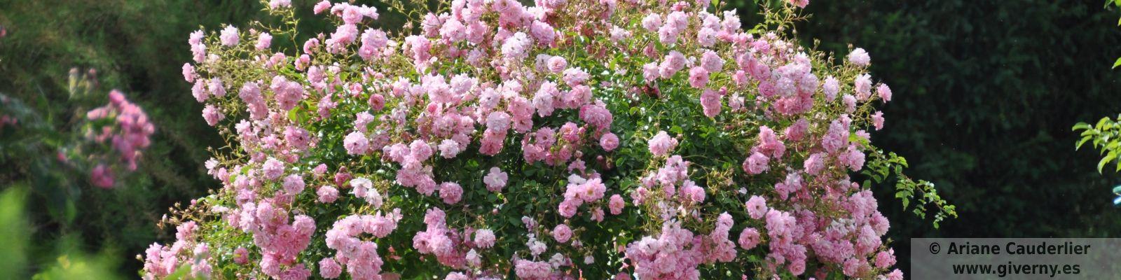 Giverny rosal
