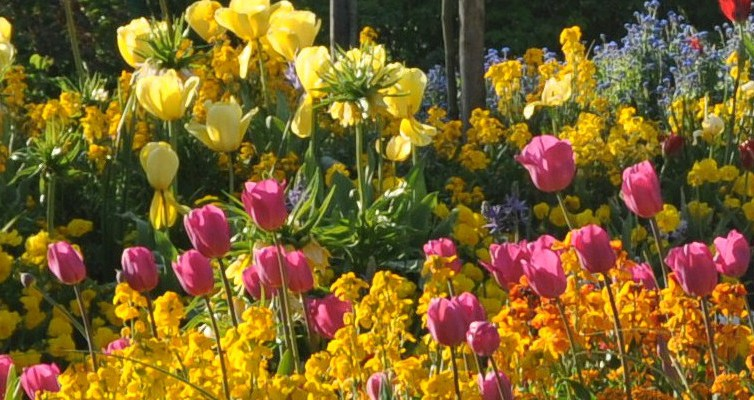 giverny tulipan