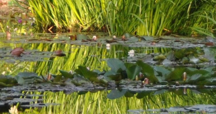 Giverny estanque en junio