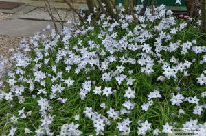Ipheion Giverny